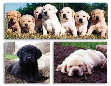 puppycol