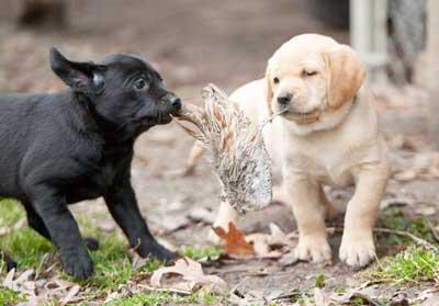 pups-blk-ylw